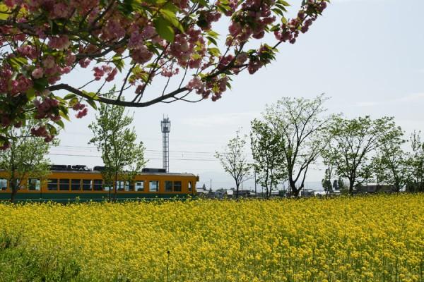 菜の花畑と八重桜と地鉄電車