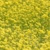 富山市営農サポートセンターで菜の花畑を撮る