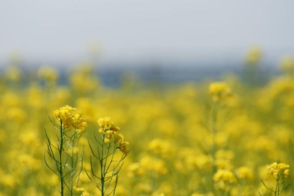 富山市営農サポートセンターの菜の花畑1