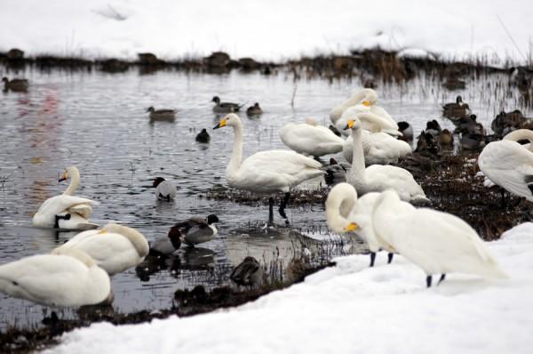冬の田尻池に集まる白鳥